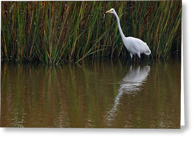 Marsh Scene Greeting Cards - Great White Egret and Reflection Greeting Card by Suzanne Gaff