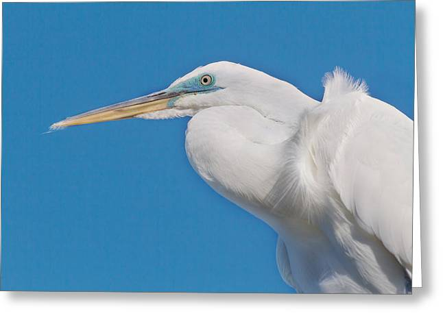 White River Greeting Cards - Great White Egret Greeting Card by Kim Hojnacki