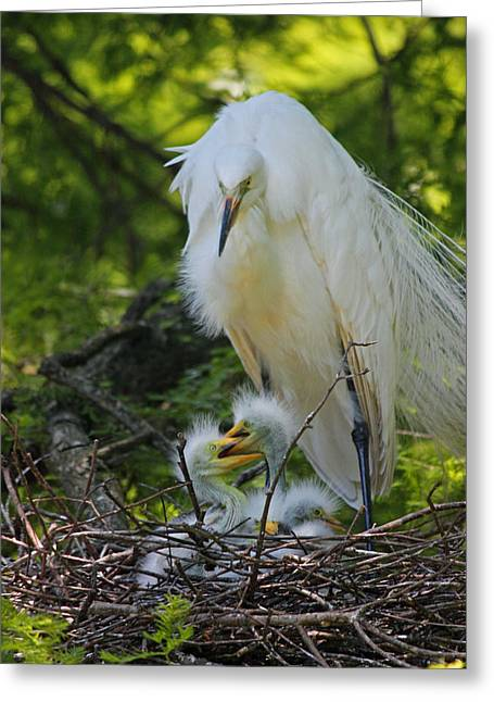 Chick Photographs Greeting Cards - Great White Egret Mom and Chicks V Greeting Card by Suzanne Gaff