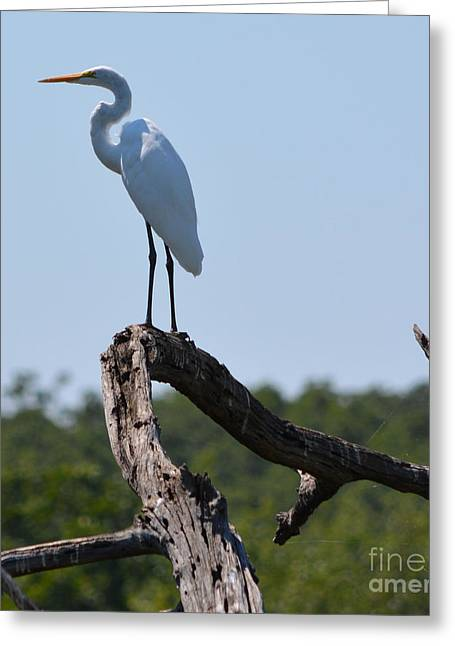 Ruth Housley Greeting Cards - Great White Egret Greeting Card by Ruth  Housley
