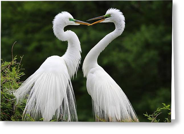 Paulette Thomas Photography Greeting Cards - Great White Egrets Greeting Card by Paulette Thomas