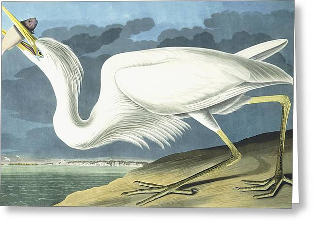 Great White Heron Greeting Card by John James Audubon