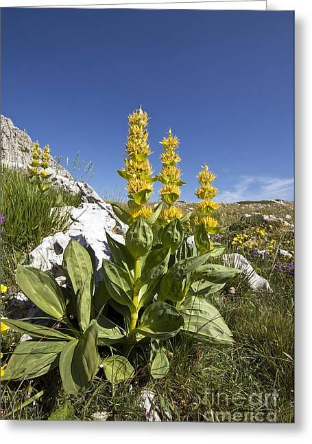 Italian Landscapes Greeting Cards - Great Yellow Gentian Gentian Lutea Greeting Card by Paul Harcourt Davies