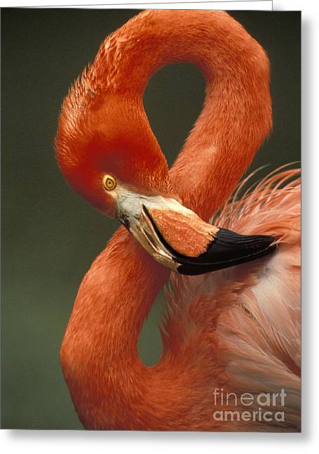 Greater Flamingos Greeting Cards - Greater Flamingo Greeting Card by Ron Sanford