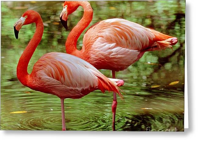 Greater Flamingos Greeting Cards - Greater Flamingoes  Greeting Card by Millard H Sharp