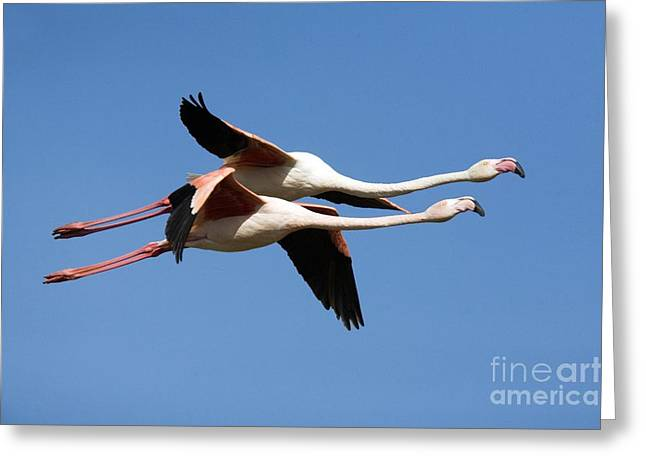 Greater Flamingos Greeting Cards - Greater Flamingos Greeting Card by Bob Gibbons