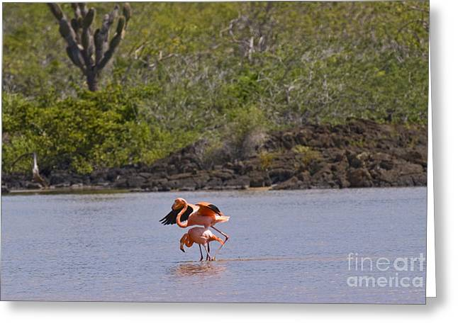 Greater Flamingo Greeting Cards - Greater Flamingos Greeting Card by William H. Mullins