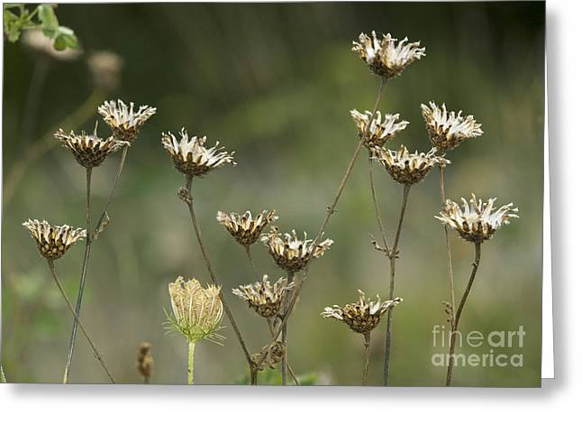 Achene Greeting Cards - Greater Knapweed Seed Heads Greeting Card by Bob Gibbons