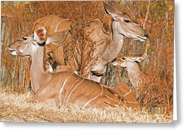 Hooved Mammal Greeting Cards - Greater Kudu Mother And Baby Greeting Card by Millard H. Sharp