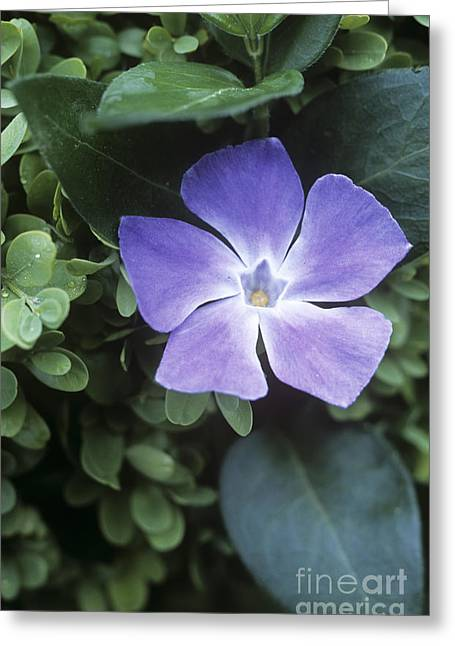 Vinca Flowers Greeting Cards - Greater Periwinkle Vinca Major Greeting Card by Maxine Adcock