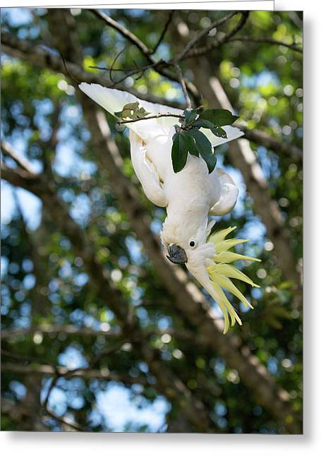 Greater Sulphur-crested Cockatoo Greeting Card by Louise Murray