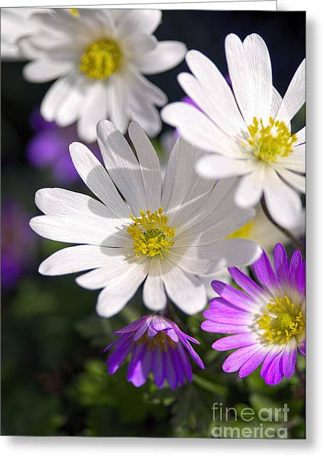 Spring Bulbs Greeting Cards - Grecian Windflowers 2 Greeting Card by Sharon  Talson