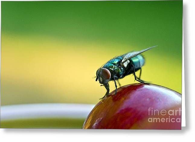 Eating Entomology Greeting Cards - Green Bottle Fly On A Grape Greeting Card by David Nunuk