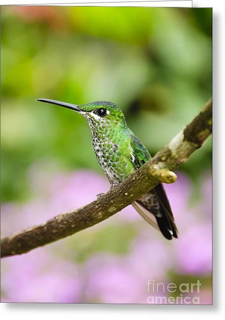 Costa Rica Greeting Cards - Green-crowned Brilliant Hummingbird Greeting Card by Oscar Gutierrez
