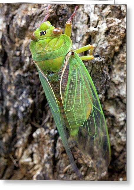 Green Grocer Cicada Greeting Card by Dr Jeremy Burgess