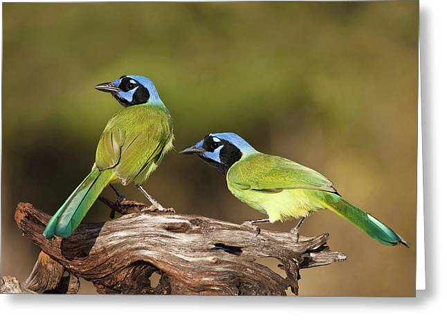 Green Jays (cyanocoras Yncas Greeting Card by Larry Ditto