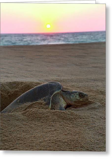Green Sea Turtle Laying Eggs, Hotelito Greeting Card by Douglas Peebles