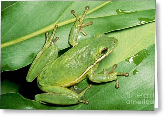 Toe Pad Greeting Cards - Green Tree Frog Greeting Card by Millard H. Sharp