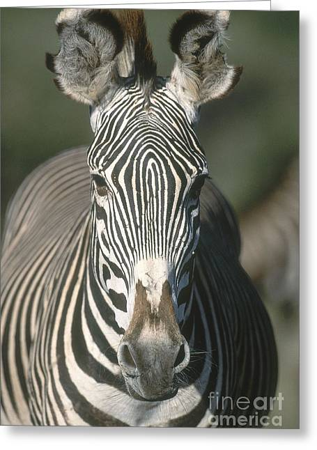 Zebra Face Greeting Cards - Grevys Zebra Greeting Card by Art Wolfe