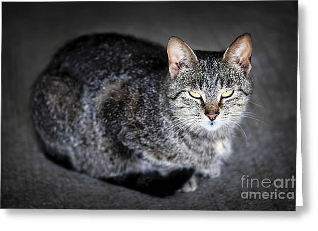 Sleepy Greeting Cards - Grey cat portrait Greeting Card by Elena Elisseeva