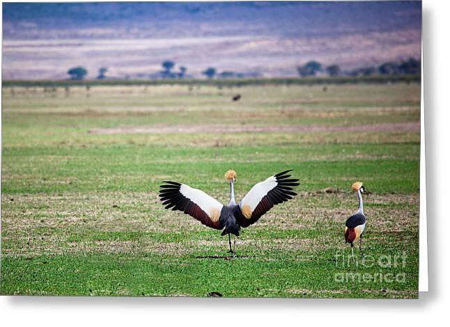 Grey Crowned Crane. The National Bird Of Uganda Greeting Card by Michal Bednarek