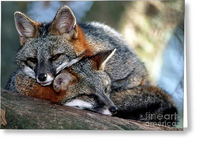 Protected Species Greeting Cards - Grey Foxes Greeting Card by Millard H. Sharp