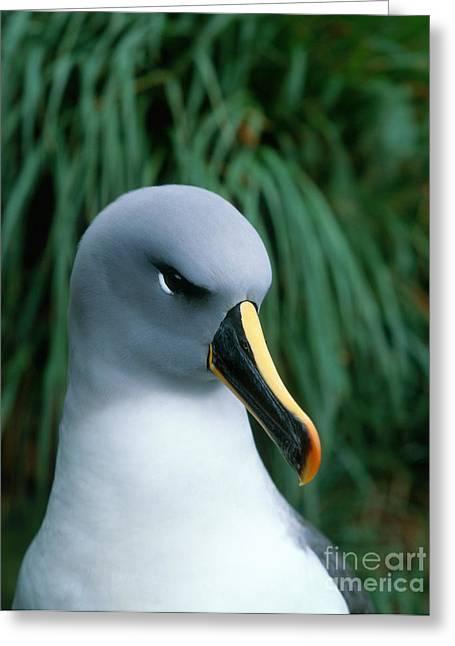 Diomedeidae Greeting Cards - Grey-headed Albatross Greeting Card by Hans Reinhard