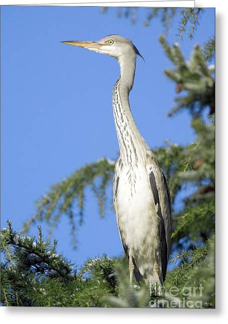 Ardea Greeting Cards - Grey Heron Perched In A Tree Greeting Card by Duncan Shaw