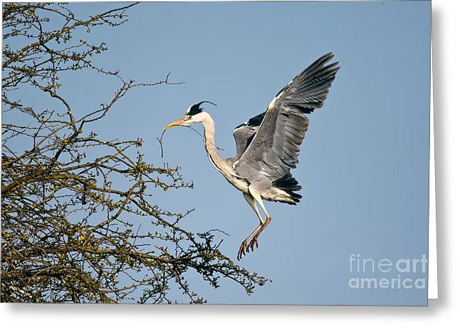Grey Heron Greeting Cards - Grey Heron With Stick Greeting Card by Thomas Hanahoe