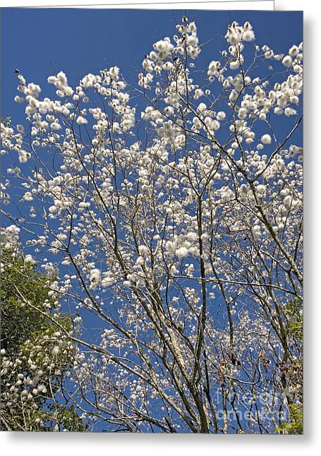 White Willow Greeting Cards - Grey Sallow Salix Cinerea Greeting Card by Bob Gibbons