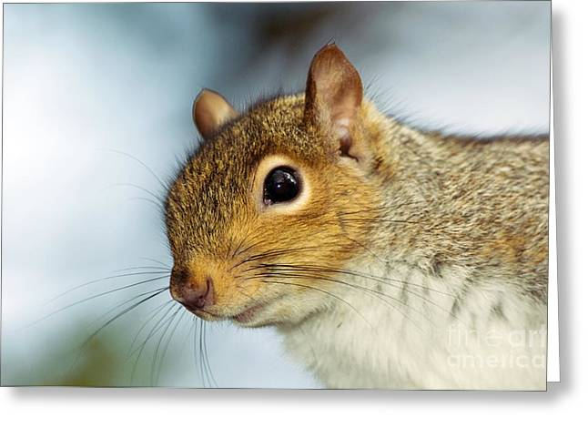Sciurus Carolinensis Greeting Cards - Grey Squirrel Greeting Card by Duncan Shaw