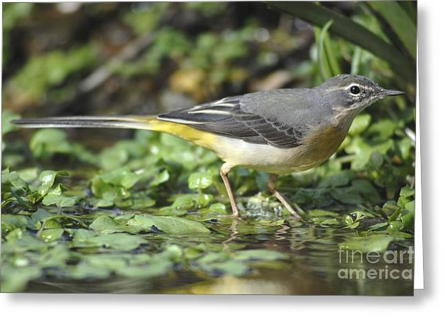 March Greeting Cards - Grey Wagtail In Stream Greeting Card by Colin Varndell