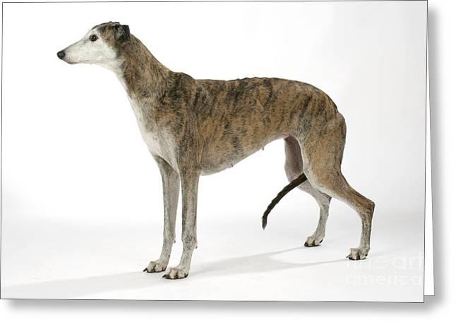 Greyhound Dog Greeting Cards - Greyhound Dog Greeting Card by John Daniels
