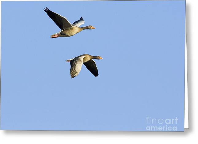 Winter Migrants Greeting Cards - Greylag Geese In Flight Greeting Card by Duncan Shaw
