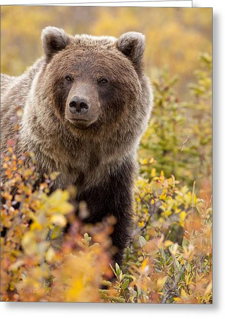 Eat Free Greeting Cards - Grizzly Bear in Autumn Greeting Card by Tim Grams