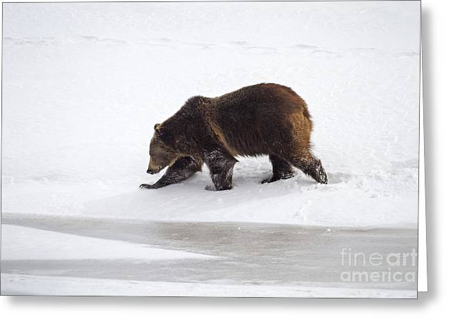 Sink Hole Greeting Cards - Grizzly Bear Walking in Snow Greeting Card by Mike Cavaroc