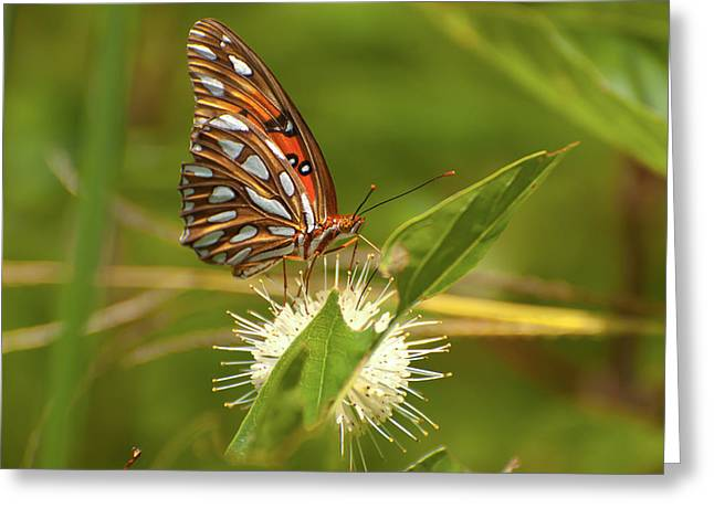 Nature Center Greeting Cards - Gulf Fritillary Greeting Card by Rich Leighton