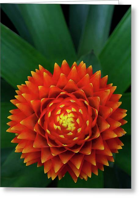 Guzman Conifer Bromeliad, Guzmania Greeting Card by Thomas Wiewandt