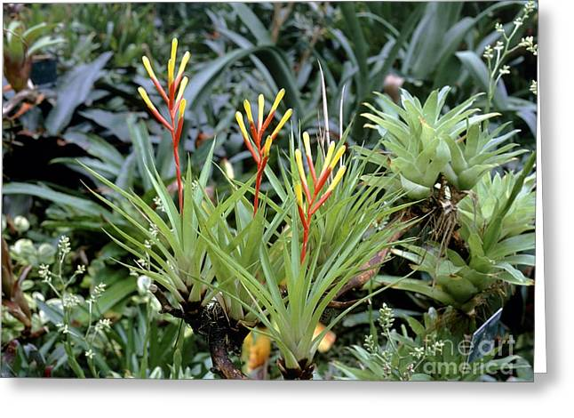 Epiphytic Greeting Cards - Guzmania Dissitiflora Greeting Card by Vaughan Fleming