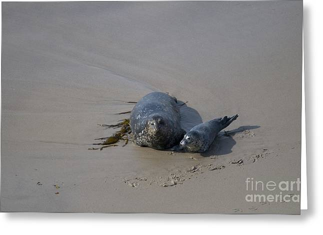 Seal Pup Greeting Cards - Harbor Seal And Pup Greeting Card by Mark Newman