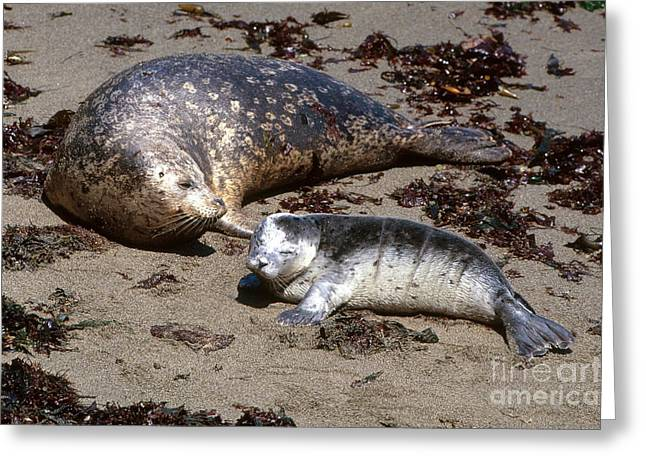 Point Lobos Greeting Cards - Harbor Seals Greeting Card by Art Wolfe