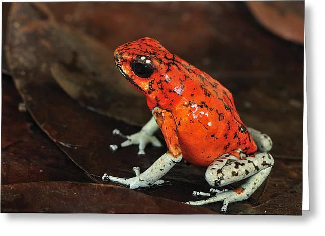 Thomas Marent Greeting Cards - Harlequin Poison Dart Frog Colombia Greeting Card by Thomas Marent