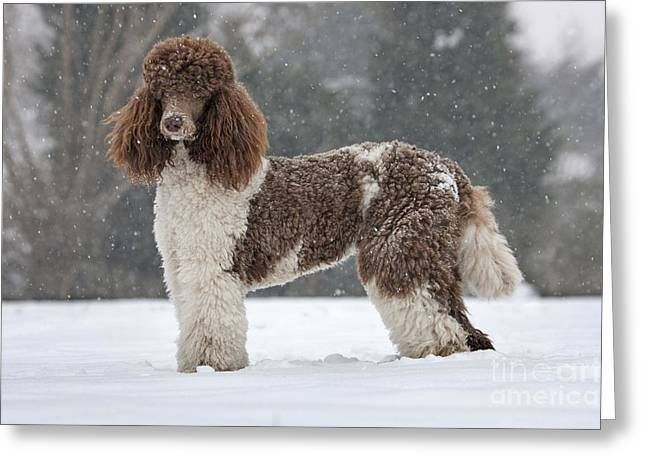 Dog In Snow Greeting Cards - Harlequin Poodle Greeting Card by Johan De Meester