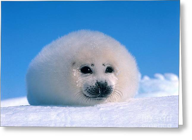 Seal Pup Greeting Cards - Harp Seal Pup Phoca Groenlandica Greeting Card by Hans Reinhard