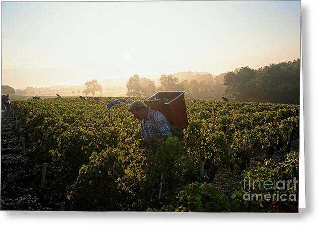 Indian Summer Greeting Cards - Harvesting in a vineyard Greeting Card by Indian Summer