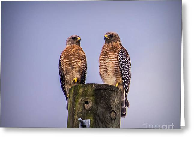 Love The Animal Greeting Cards - Hawks Greeting Card by Zina Stromberg