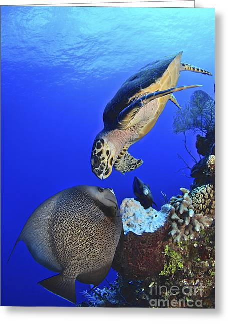 Face To Face Greeting Cards - Hawksbill Sea Turtle And Gray Angelfish Greeting Card by Amanda Nicholls