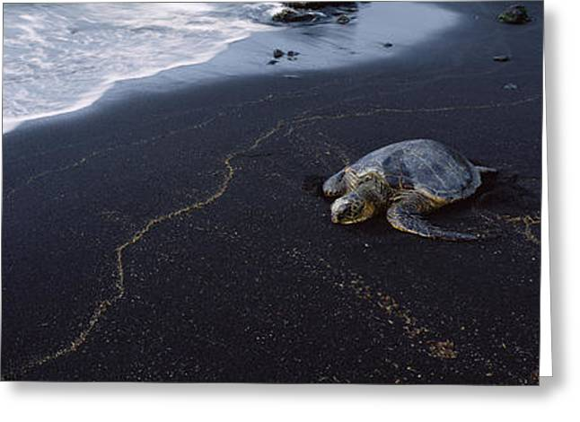 Hawksbill Turtle Greeting Cards - Hawksbill Turtle Eretmochelys Imbricata Greeting Card by Panoramic Images