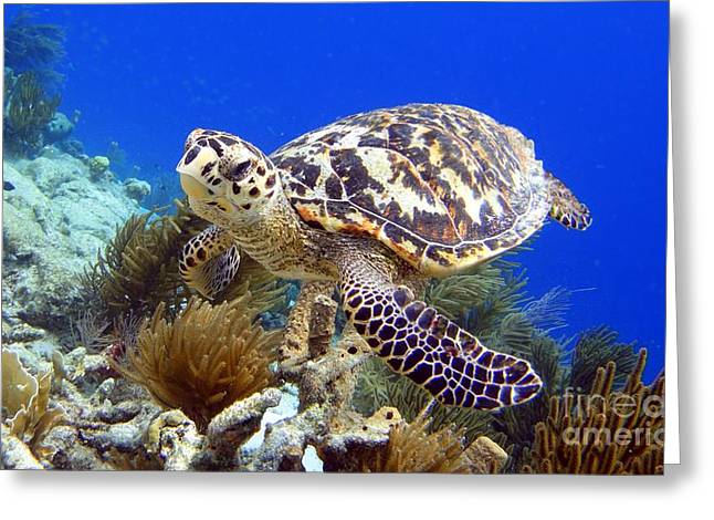 Hawksbill Turtle Greeting Card by Isabelle Kuehn