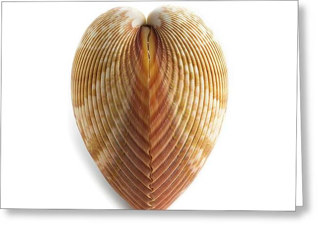 Heart Cockle Shell Greeting Card by Science Photo Library
